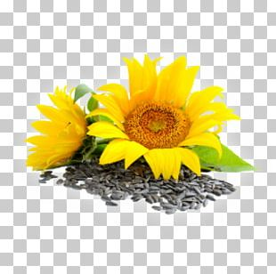 Sunflower Seed Common Sunflower Lecithin Essential Fatty Acid PNG