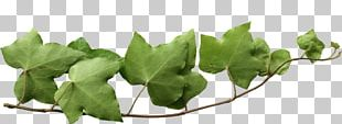 Common Ivy Vine Bindweeds PNG