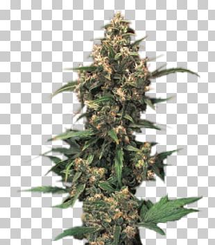 Medical Cannabis White Widow Seed Bank PNG