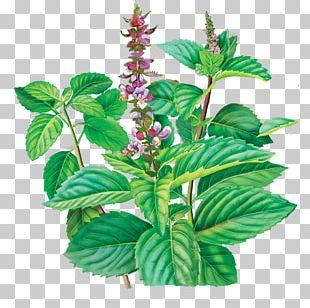 Herbal Tea Holy Basil Herbal Tea PNG