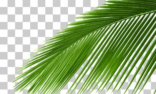 Arecaceae Cycad Leaf Tree Coconut PNG