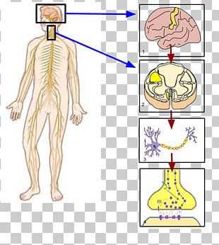 Somatic Nervous System Peripheral Nervous System Parasympathetic Nervous System Autonomic Nervous System PNG