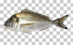 Oily Fish Gilt-head Bream Aquaculture Agriculture PNG