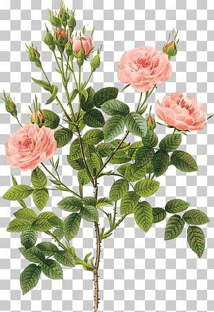 Printmaking Rose Botanical Illustration Botany Poster PNG