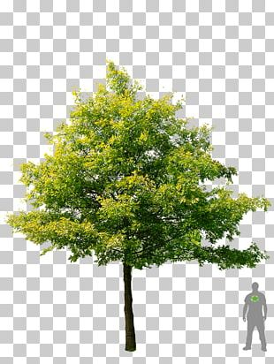 Shade Tree American Sycamore Swamp Spanish Oak Stock Photography PNG