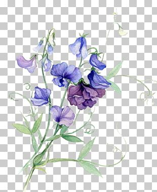 Broad-leaved Sweet Pea Watercolour Flowers Watercolor Painting PNG