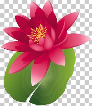 Nelumbo Nucifera Water Lily Water Lilies PNG