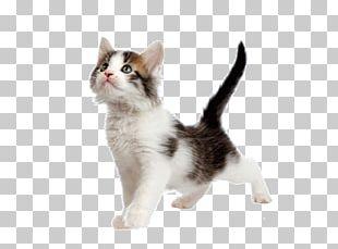Kitten American Wirehair Aegean Cat Japanese Bobtail Munchkin Cat PNG