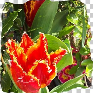 Tulip Petal Annual Plant PNG