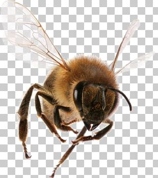 Western Honey Bee Insect Bee Sting Worker Bee PNG