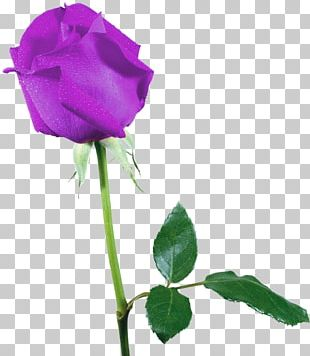 Beach Rose Cut Flowers Garden Roses Scalp PNG