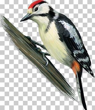 Great Spotted Woodpecker Bird Finch Middle Spotted Woodpecker PNG