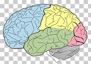 Lobes Of The Brain Occipital Lobe Frontal Lobe Parietal Lobe PNG