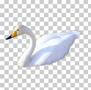 Cygnini Duck Feather Beak Neck PNG