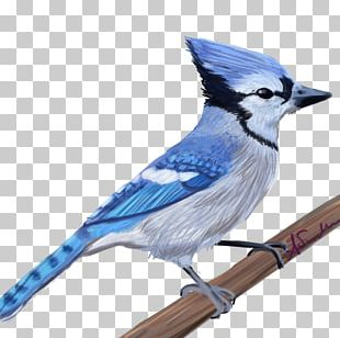 Blue Jay Cobalt Blue Feather Beak PNG