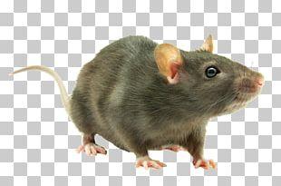 Brown Rat Rodent Mouse Black Rat Laboratory Rat PNG