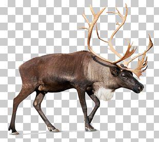 Reindeer Rudolph Santa Claus PNG