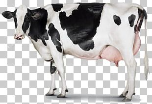 Holstein Friesian Cattle Milk Dairy Cattle Dairy Farming PNG