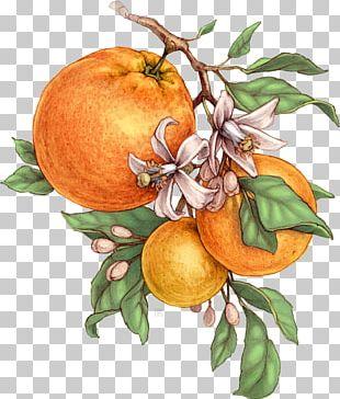 Bitter Orange Tangerine Mandarin Orange Grapefruit Botanical Illustration PNG