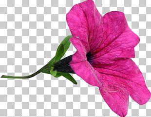 Flower Snezha PNG