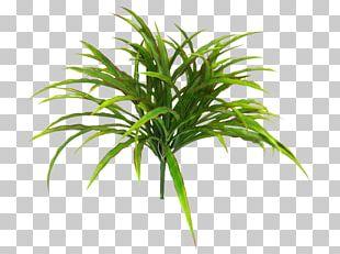 Arecaceae Grasses Terrestrial Plant Plant Stem Tree PNG