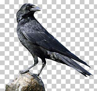 Crows U015aru0101ddha PNG