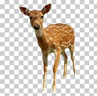 White-tailed Deer Roe Deer Sika Deer PNG