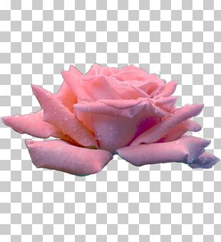 Garden Roses Cabbage Rose Cut Flowers Petal PNG