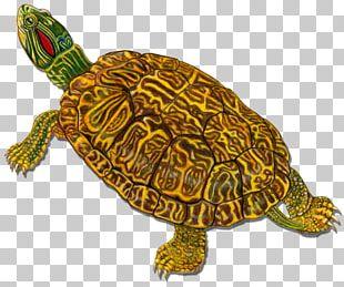 Box Turtles Loggerhead Sea Turtle Tortoise PNG