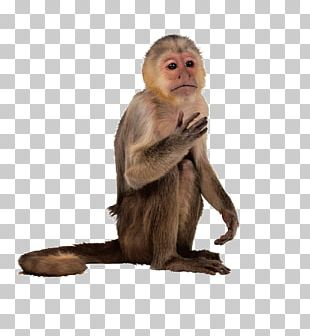 New World Monkey Primate Simia Capuchin Monkey PNG