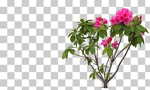 Flower Rhododendron PNG