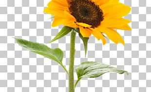 Stock.xchng Portable Network Graphics Common Sunflower Desktop PNG