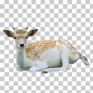 Reindeer Roe Deer Red Deer Tiger PNG