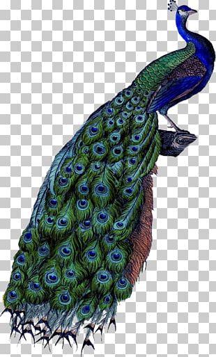 Coton De Tulear Peafowl Feather PNG
