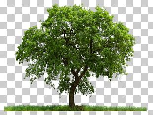 Tree Clipping Path Pine PNG