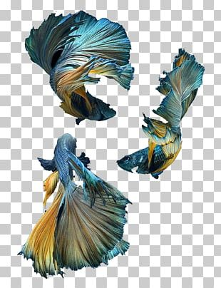 Siamese Fighting Fish Blue Shark PNG