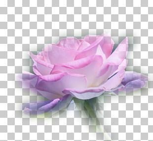 Garden Roses Centifolia Roses Flower Bouquet Desktop PNG