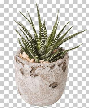 Succulent Plant Gift Flower Aloe Vera PNG