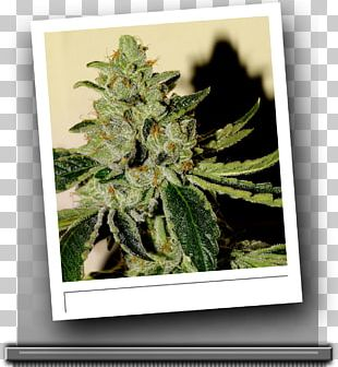 Cannabis Skunk Seed Bank Kush PNG