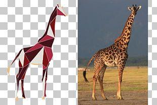 Masai Giraffe What Is A Giraffe? Okapi Reticulated Giraffe Serengeti National Park PNG