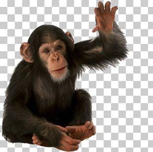 Orangutan Primate Monkey Common Chimpanzee PNG