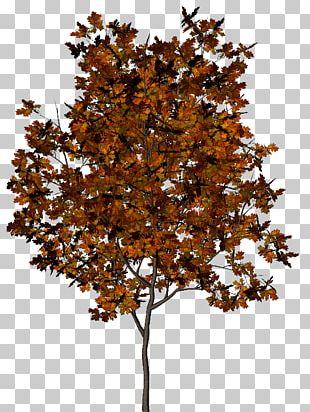 Tree Autumn Leaf Pinus Halepensis PNG