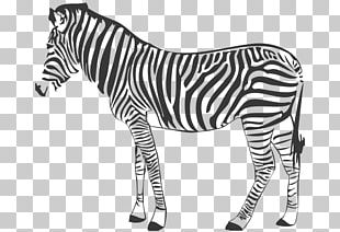 Quagga Mountain Zebra Horse Photography PNG