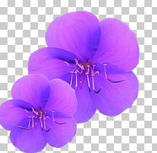 Purple Orchid PNG