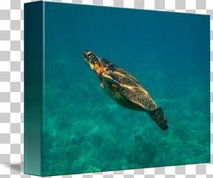 Loggerhead Sea Turtle Pond Turtles Marine Biology PNG