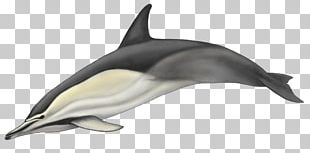 Striped Dolphin Short-beaked Common Dolphin Common Bottlenose Dolphin White-beaked Dolphin Rough-toothed Dolphin PNG