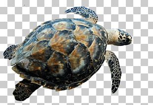 Swimming Turtle PNG