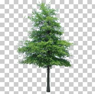 Populus Nigra Tree Oak Quercus Ilex Landscape PNG