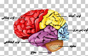 Human Brain Nervous System Human Body Anatomy PNG