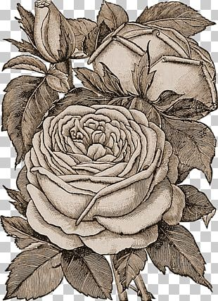 Rose Floral Design Drawing Flower PNG